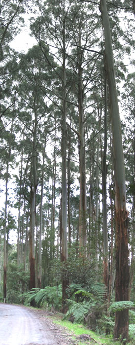 Rappa forest that Victorian Government plans to log